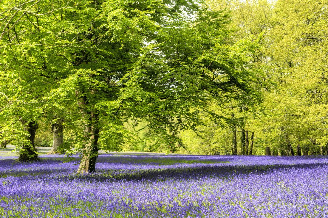 Mary Fletcher | Bluebell Woodland