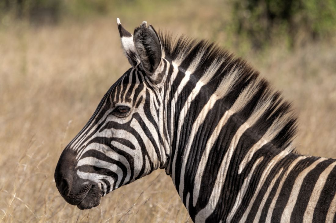 Mary Fletcher | Zebra