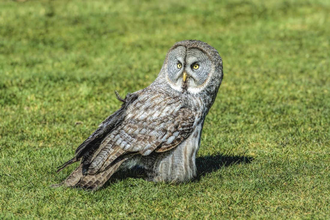 Mary Fletcher | Great Grey Owl