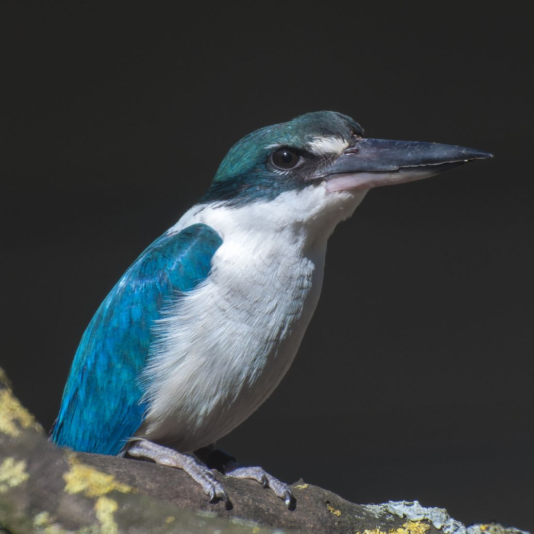 Mary Fletcher | Forest Kingfisher