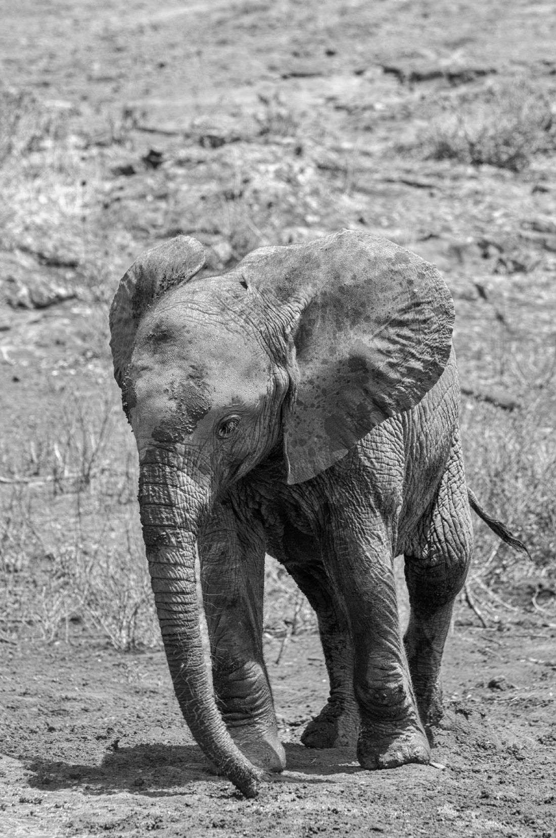Mary Fletcher |  Elephant Calf