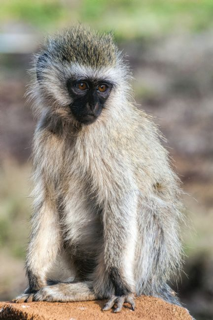 Mary Fletcher | Vervet Monkey