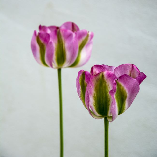 Mary Fletcher | Two Tulips