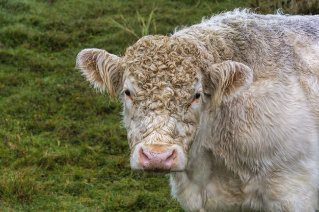 Mary Fletcher | Whitebred Shorthorn