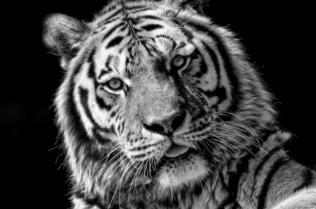 Mary Fletcher | Black and White Tiger