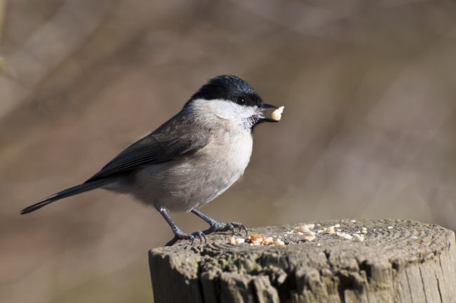 Mary Fletcher | Marsh Tit (Poecile palustrus)