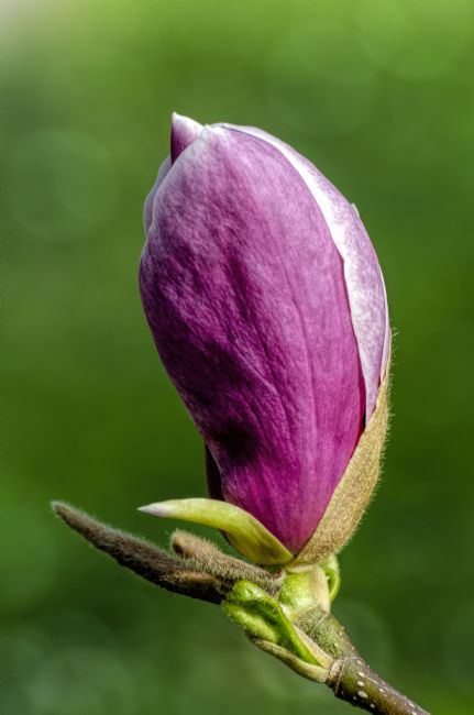Mary Fletcher | Magnolia Bud