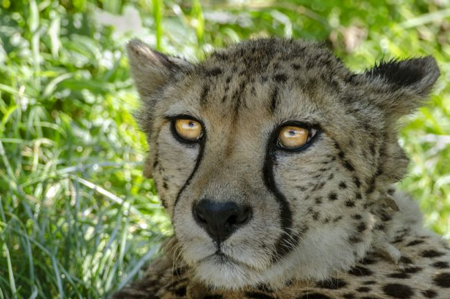 Mary Fletcher | Cheetah Stare