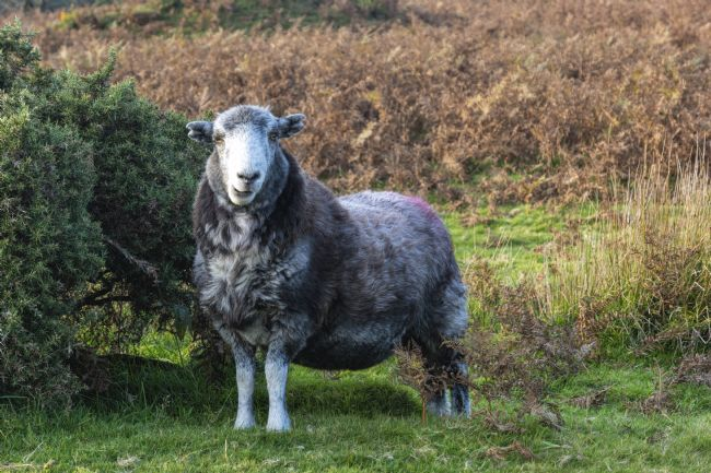 Mary Fletcher | Single sheep on Bodmin Moor