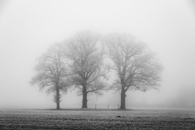 Mary Fletcher | Three Solitary Oaks