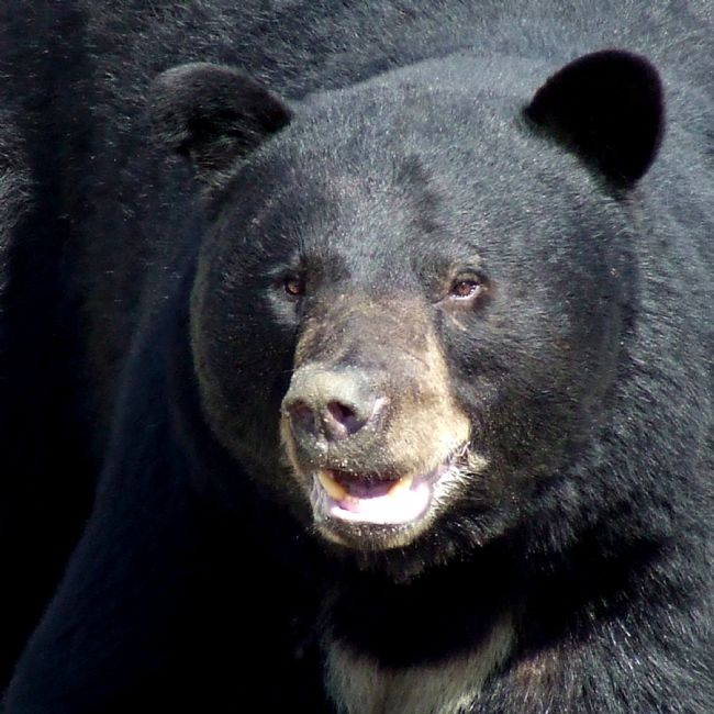 Roger Simmons | Black Bear Portrait