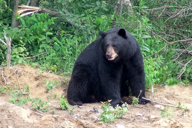 Roger Simmons | Black Bear 2