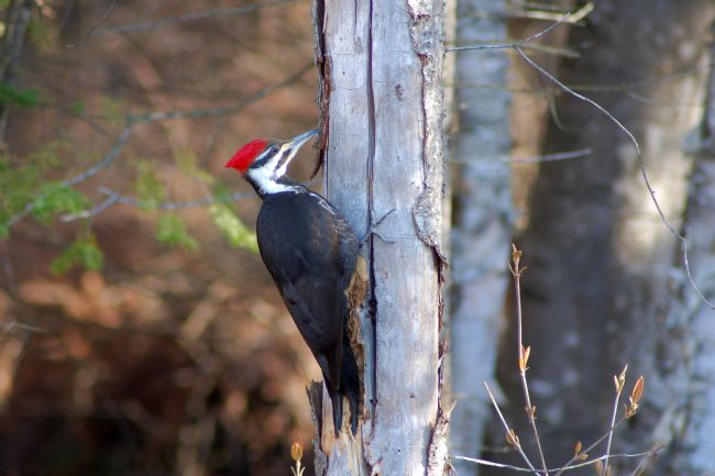 Roger Simmons | Pileated Woodpecker