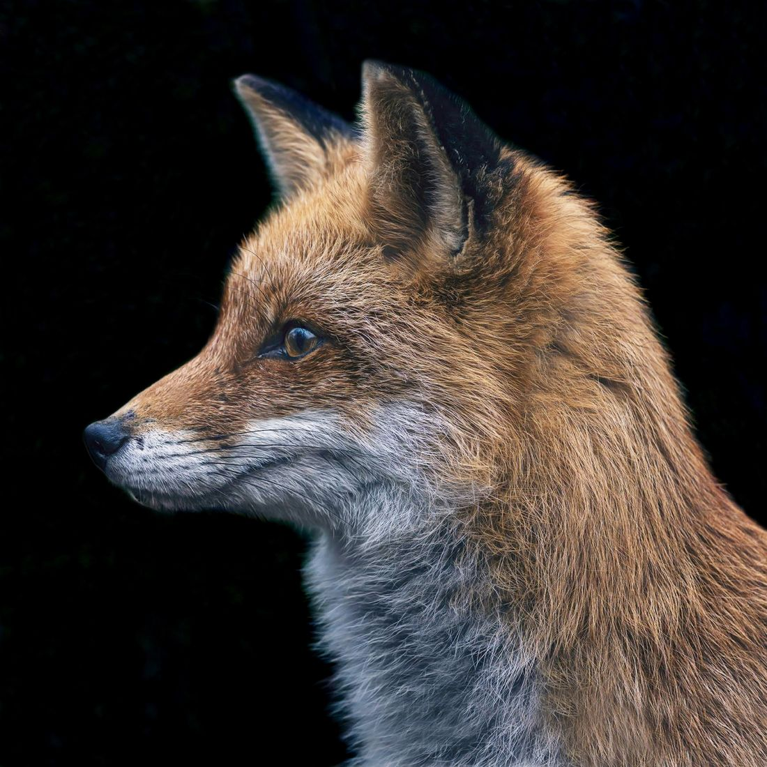Chris Langley | Red Fox (Vulpes vulpes) on the Alert!