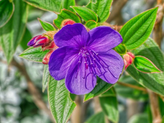 Chris Langley | Princess Flower - Tibouchina Urvilleana