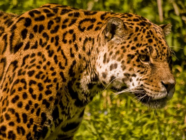 Jay Lethbridge | Jaguar (Panthera onca)