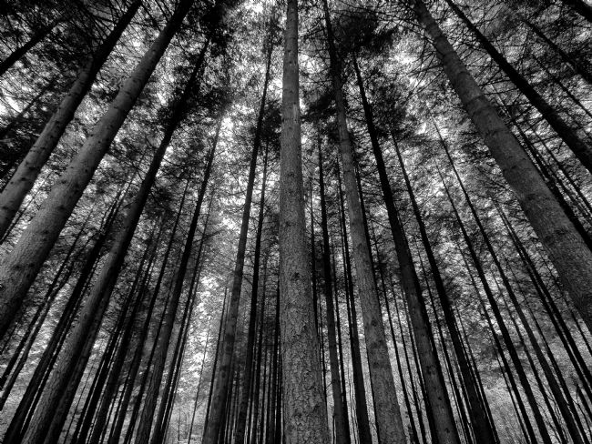 Jay Lethbridge | Stover Trees in Black and White