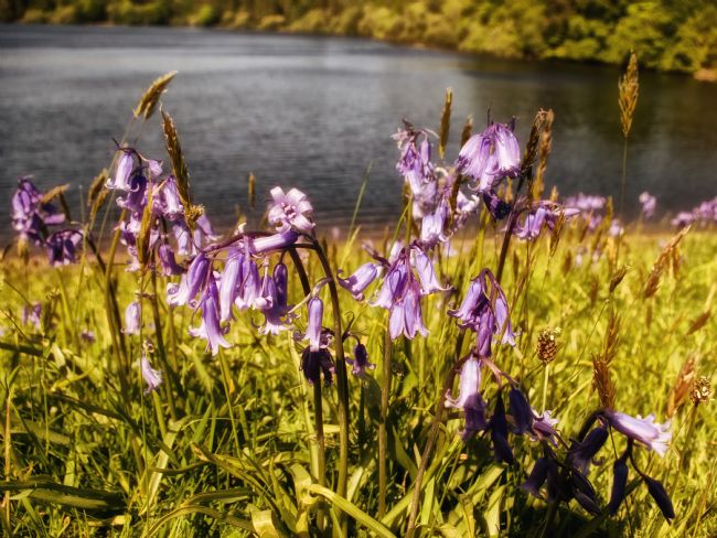 Jay Lethbridge | Bluebells at Burrator Reservoir on Dartmoor