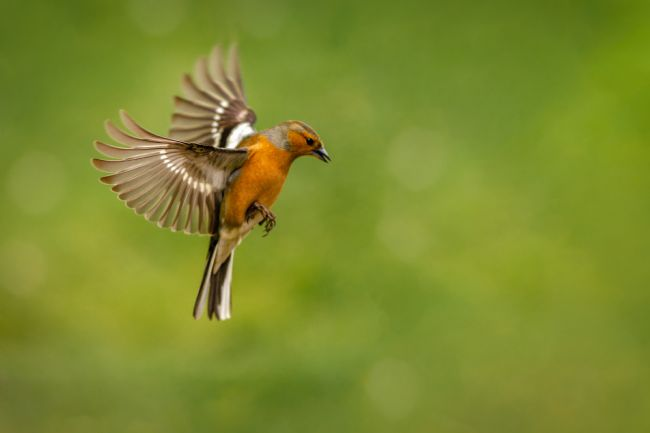 Bryan Hynd | Flight of the Chaffinch