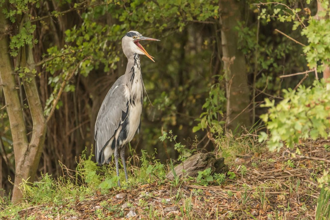 Jacovos Jacovou | Laughing Heron