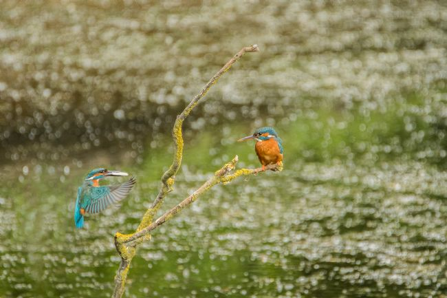 Jacovos Jacovou | Male kingfisher baring fish