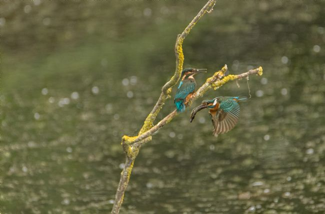 Jacovos Jacovou | Adult and Juvenile Kingfisher