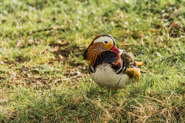 Jacovos Jacovou | Male Mandarin Duck