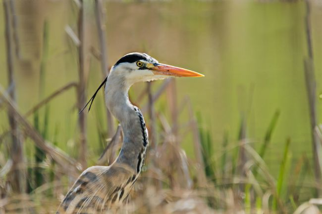 Jacovos Jacovou | Hip Heron with ponytail