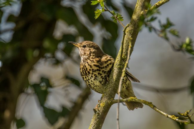 Jacovos Jacovou | Song Thrush