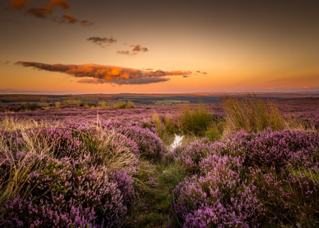 Kevin Cook | Moorland heather
