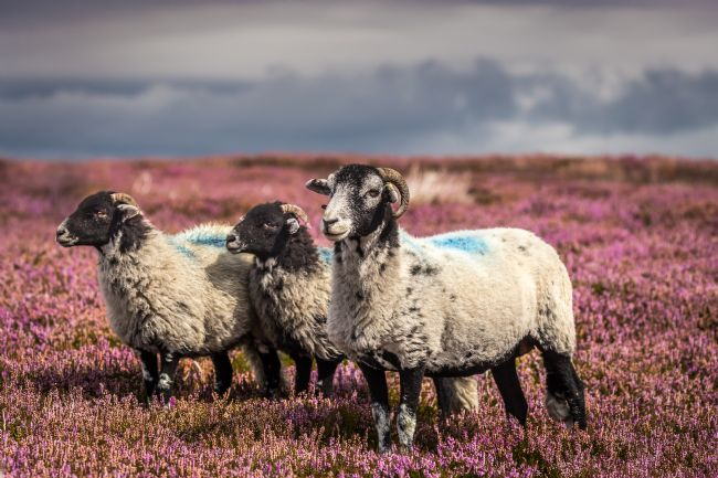 Kevin Cook | Sheep in t'heather