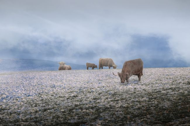 Stephen Whitham | Cows in the Mist.