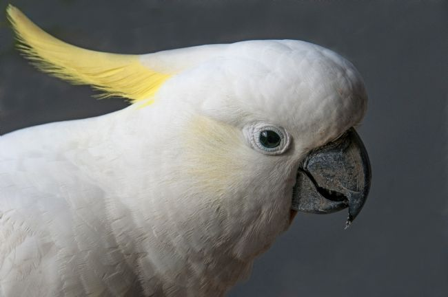 Geoff Ghilds |  Sulphur-crested Cockatoo head shot.