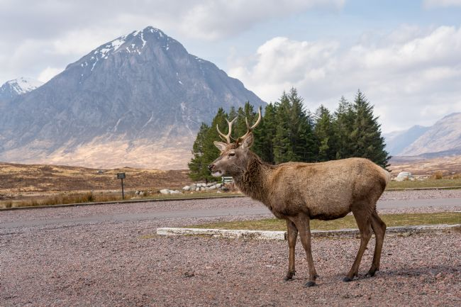 Anthony McGeever | Wild Deer and the Buachaille Etive Mòr
