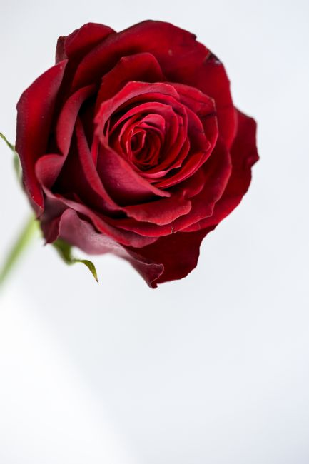 anthony hart | A Single Red Rose on A White Background
