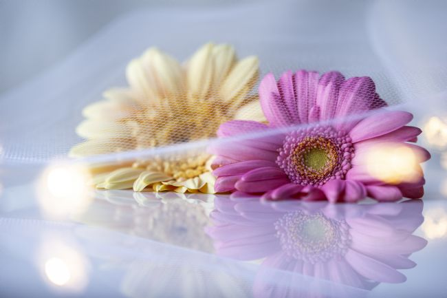 anthony hart | Gerbera Flowers on White reflective background