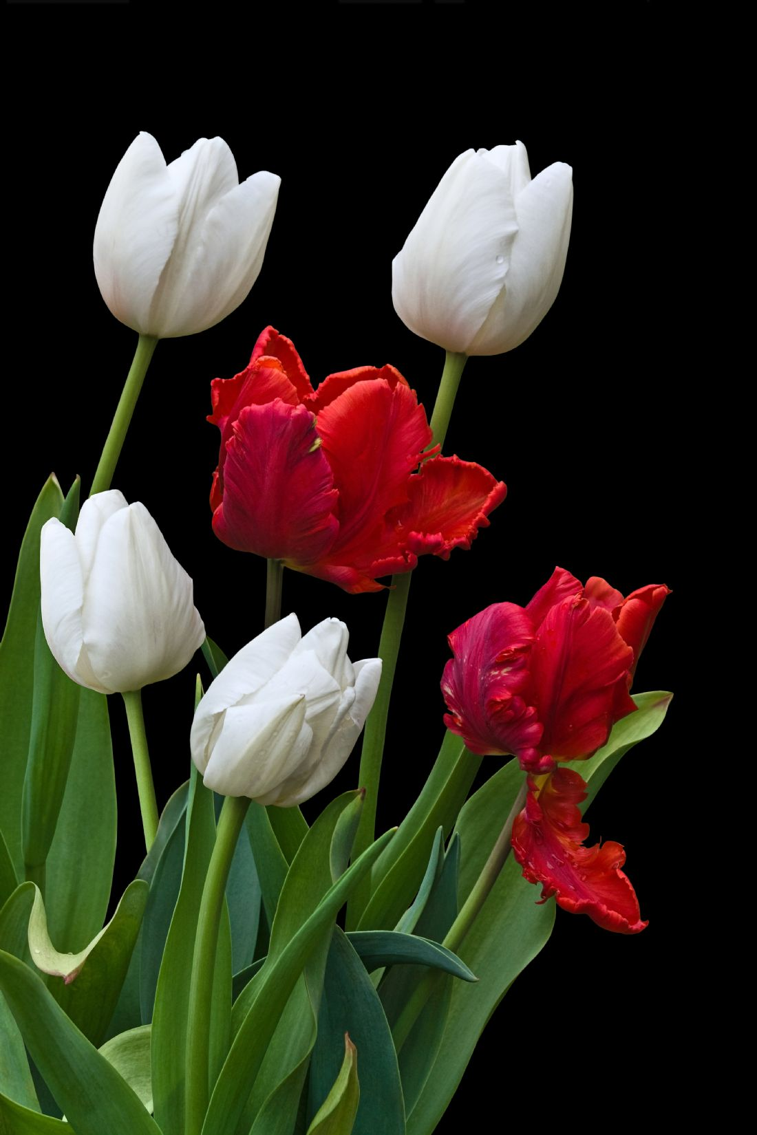 Jane McIlroy | Red and White Tulips on Black