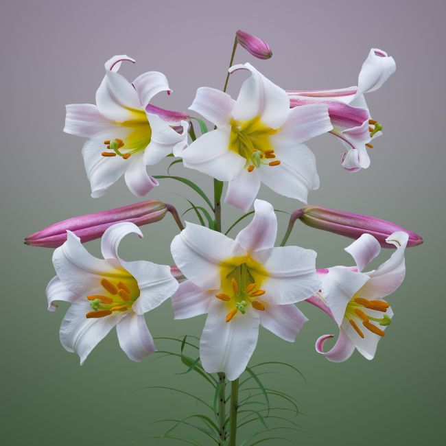 Jane McIlroy | Pink and White Trumpet Lilies