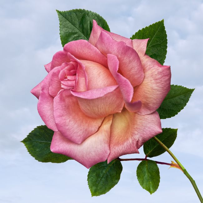 Jane McIlroy | Single Pink Rose on a Blue Sky Background