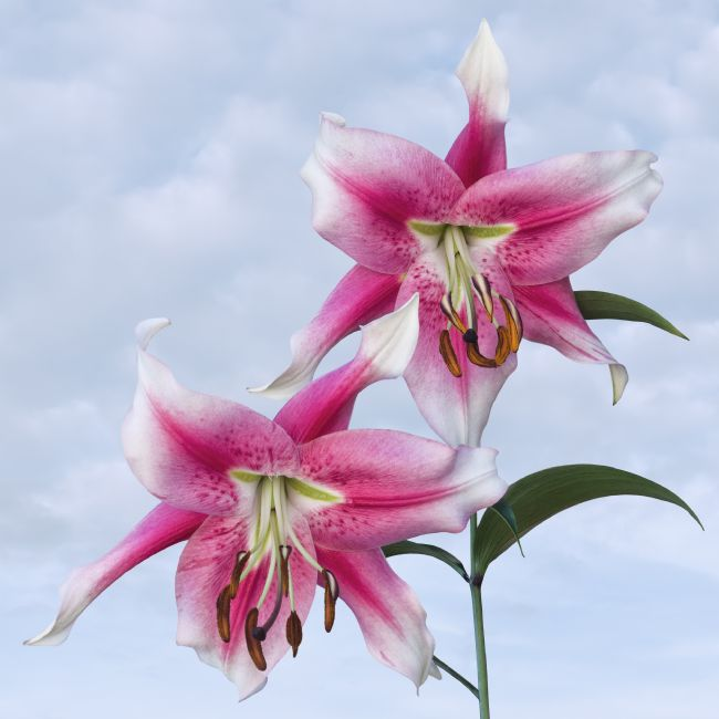 Jane McIlroy | Pink Lilies on a Blue Sky Background