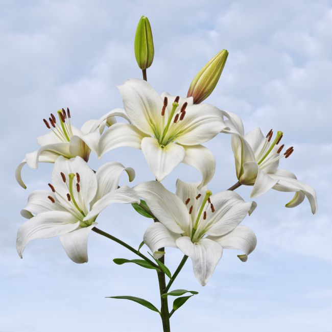 Jane McIlroy | Spray of White Asiatic Lilies on a Blue Sky Background
