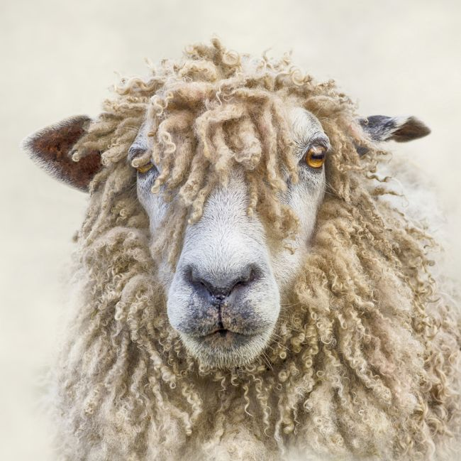 Linsey Williams | Leicester Longwool