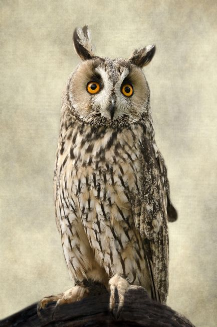 Linsey Williams | Long Eared Owl
