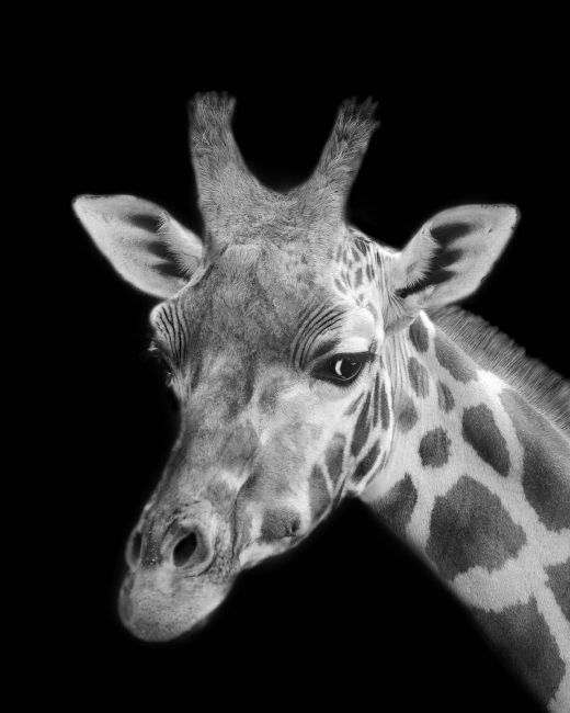 Linsey Williams | Giraffe in Mono