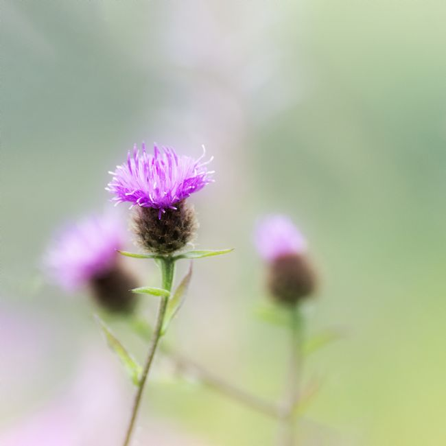 Janet Burdon | Milk Thistle