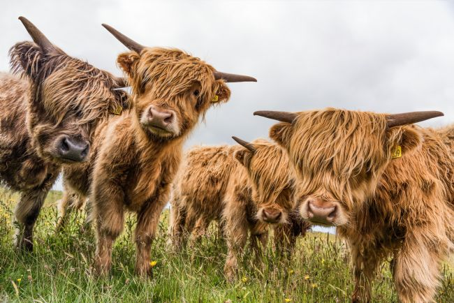 Janet Burdon | Highland Cattle