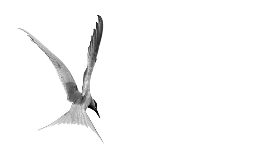 Sandra Cockayne | Arctic Tern In Flight