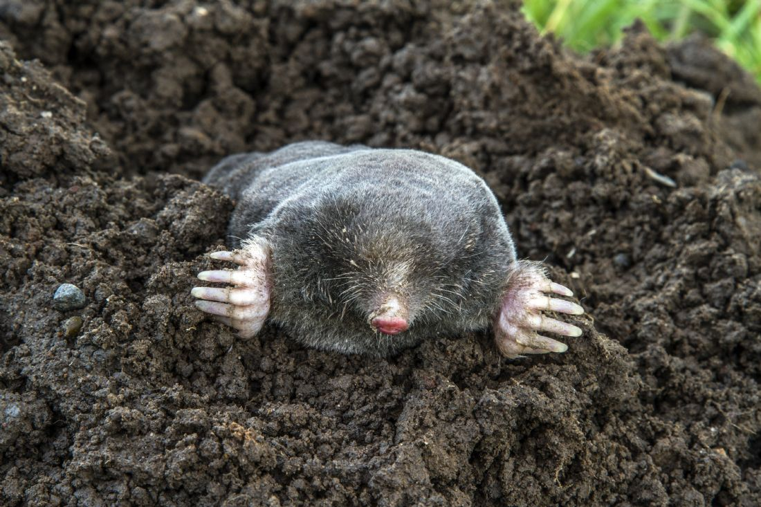 Sandra Cockayne ADPS. | I am a Mole, and I live in a hole....