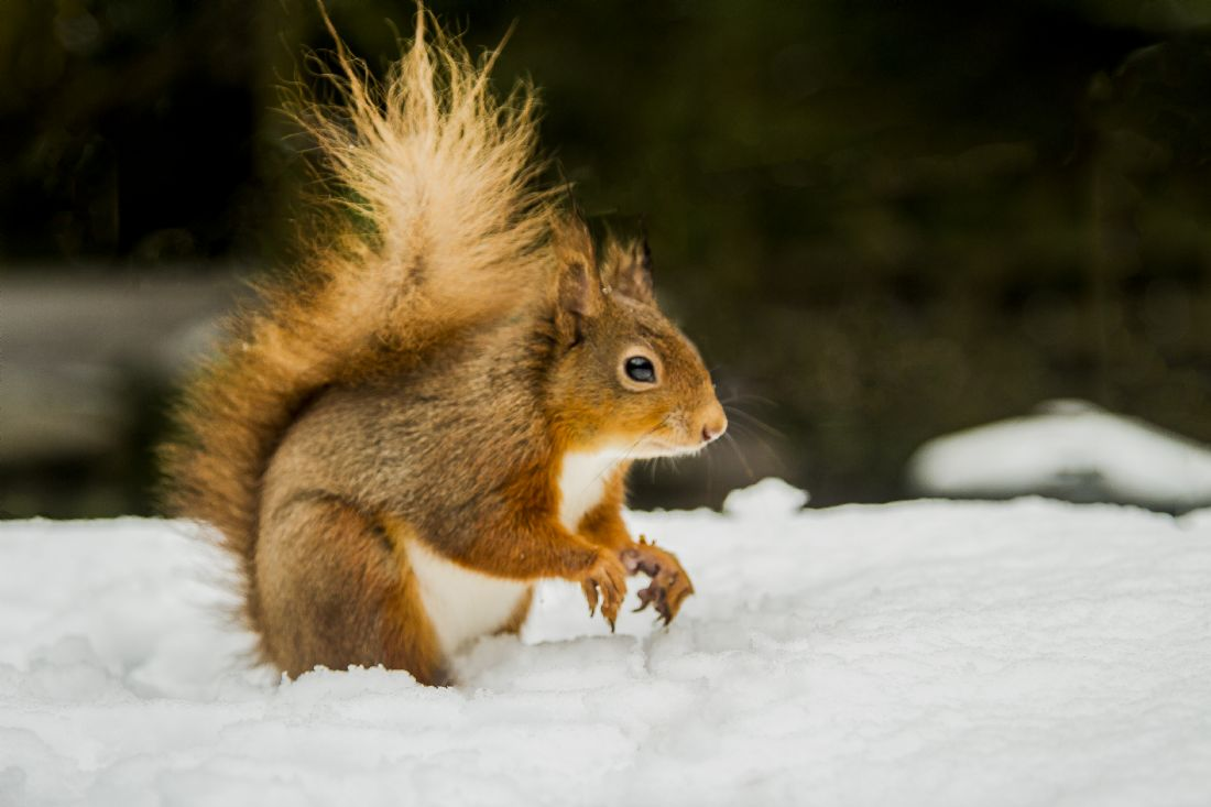 Sandra Cockayne ADPS. | Red Squirrel In The Snow III