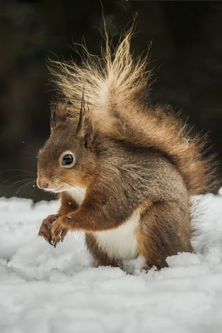 Sandra Cockayne | Red Squirrel In The Snow